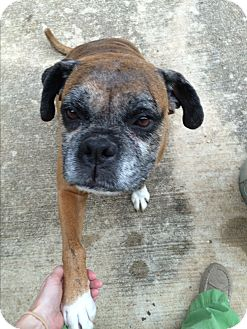 Boxer Dog for adoption in Austin, Texas - Nilla