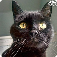 Domestic Shorthair Cat for adoption in West Kennebunk, Maine - Isabelle