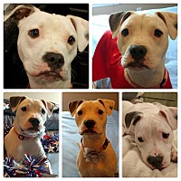 Bulldog/Boxer Mix Puppy for adoption in KITTERY, Maine - HONEY