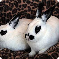 Blanc de Hotot Mix for adoption in Tustin, California - Happy