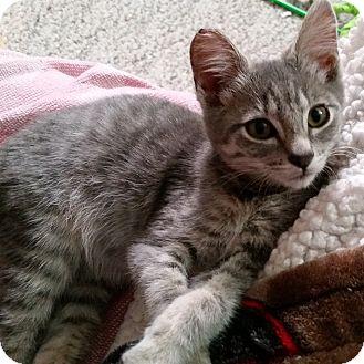flea allergy dermatitis in cats