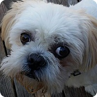 Shih Tzu Dog for adoption in Urbana, Ohio - Corey Turner