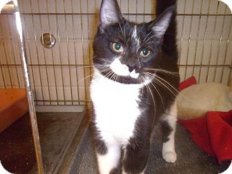 Domestic Shorthair Cat for adoption in Muscatine, Iowa - Huck