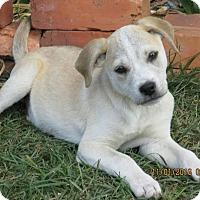 Boxer/Labrador Retriever Mix Puppy for adoption in West Springfield, Massachusetts - Kai