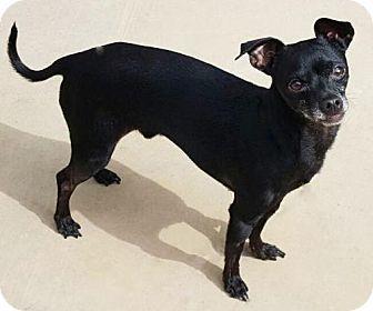 Chihuahua/Italian Greyhound Mix Dog for adoption in San Diego, California - Corbin