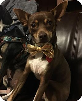 Rat Terrier Dog for adoption in of, New Jersey - Bentley
