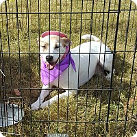 Terrier (Unknown Type, Medium)/Jack Russell Terrier Mix Dog for adoption in Huntsville, Tennessee - Roxy