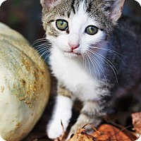 Domestic Shorthair Kitten for adoption in Marietta, Georgia - Kili
