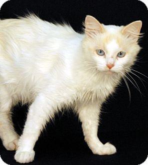 Siamese Cat for adoption in Newland, North Carolina - Sedona