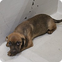 Adopt A Pet :: A31 Poopy - Odessa, TX