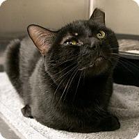 Adopt A Pet :: Preston - Toronto, ON