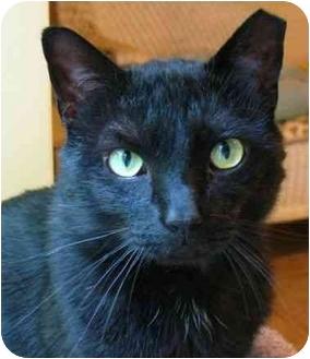 Domestic Shorthair Cat for adoption in Plainville, Massachusetts - County