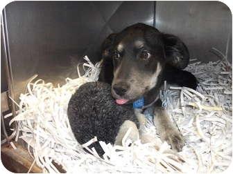 Shepherd (Unknown Type)/Labrador Retriever Mix Puppy for adoption in Edwardsville, Illinois - Mattie
