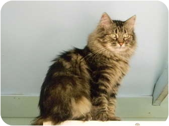 Domestic Longhair Cat for adoption in Bay City, Michigan - Princess~~adopted 10-2011~~