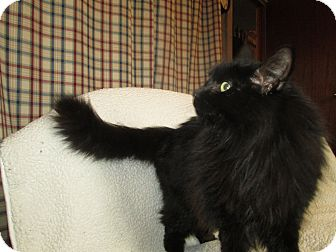 Domestic Longhair Cat for adoption in Richland, Michigan - Princess