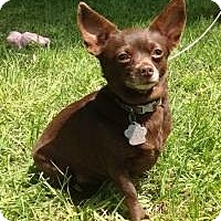 Chihuahua Dog for adoption in Kingwood, Texas - Sadie2