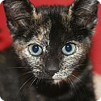 Adopt A Pet :: OLIVIA - SILVER SPRING, MD