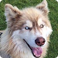 Adopt A Pet :: BEAR- - Boise, ID
