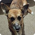 Adopt A Pet :: Corgi Mix Fl Pup