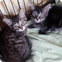 Adopt A Pet :: Lino - Encinitas, CA