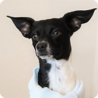 Adopt A Pet :: Jack - McKinney, TX