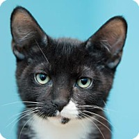 Adopt A Pet :: Skunk (petsmart- Deer Valley) - Scottsdale, AZ