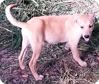Golden Retriever/Labrador Retriever Mix Puppy for adoption in Leming, Texas - Crackers