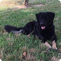 English Sheepdog Mix Dog for adoption in Marshville, North Carolina - Huck