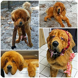 Tibetan Mastiff Dog for adoption in Forked River, New Jersey - Leo
