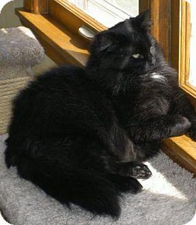 Domestic Longhair Cat for adoption in St Paul, Minnesota - Savannah