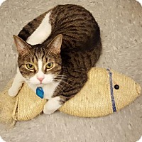 Domestic Shorthair Cat for adoption in Indianapolis, Indiana - Cash
