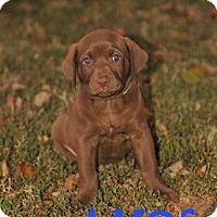 Adopt A Pet :: Amos - Colmar, PA