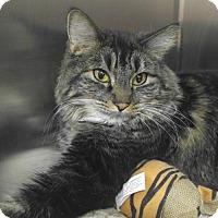 Adopt A Pet :: Diva - Las Vegas, NV
