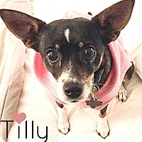 Adopt A Pet :: Tilly - Arlington, TX