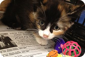 Domestic Shorthair Kitten for adoption in Island Park, New York - Cyndi