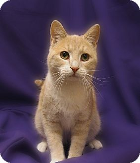 Domestic Shorthair Cat for adoption in Richmond, Virginia - Sundance