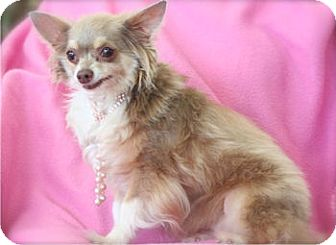 Chihuahua Dog for adoption in Mooy, Alabama - Delilah
