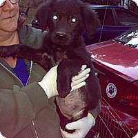 Adopt A Pet :: Pria - New Boston, NH