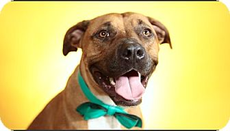 Boxer/Pit Bull Terrier Mix Dog for adoption in Los Angeles, California - River