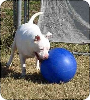 American Pit Bull Terrier Mix Dog for adoption in Garland, Texas - Sonic