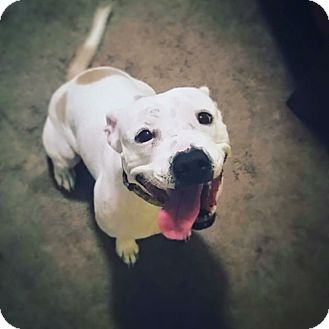 American Bulldog/English Bulldog Mix Dog for adoption in Chicago, Illinois - Courtney