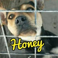 Blue Heeler/Shepherd (Unknown Type) Mix Dog for adoption in Odessa, Texas - Honey