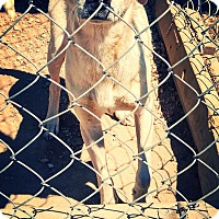 Chihuahua Mix Dog for adoption in Odessa, Texas - Saint