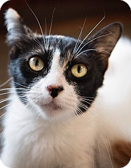 Domestic Shorthair Cat for adoption in Luling, Louisiana - Caccini