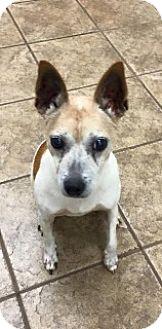 Terrier (Unknown Type, Medium) Mix Dog for adoption in Joplin, Missouri - Scrabble 106149