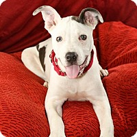 Adopt A Pet :: Malcolm - Little Rock, AR