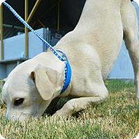 Labrador Retriever Mix Dog for adoption in Laredo, Texas - Julius