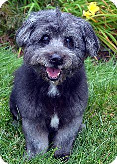 Cocker Spaniel/Lhasa Apso Mix Dog for adoption in Bridgeton, Missouri - Shane
