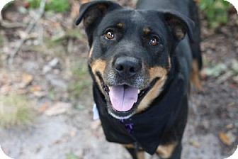 Rottweiler Mix Dog for adoption in Voorhees, New Jersey - Gummibear