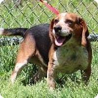 Adopt A Pet :: Boomer - Danbury, CT